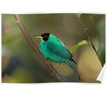 Green Honeycreeper - Costa Rica Poster