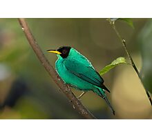 Green Honeycreeper - Costa Rica Photographic Print