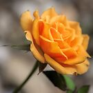 Rose by JEZ22