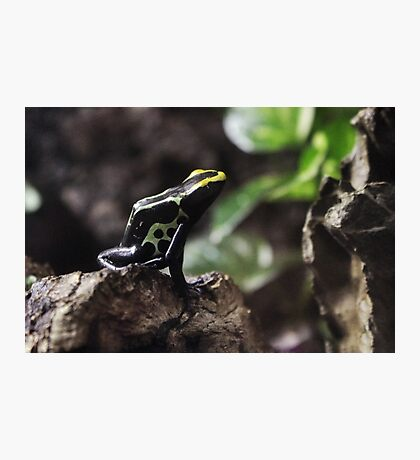Dart frog II Photographic Print