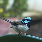 Superb Fairy Wren by Meg Hart