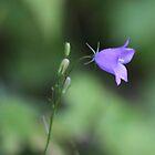 Harebell (Campanula rotundifolia) by SBNature