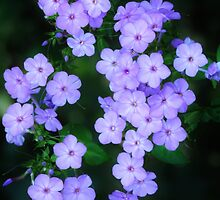 Pretty Prairie Phlox by lorilee