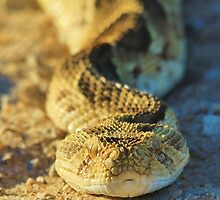 Puff Adder - African Snake Background - Dangerous Beauty by LivingWild
