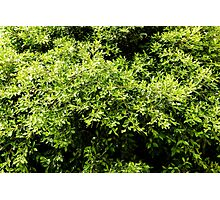 Green Tree Foliage In Spring Photographic Print