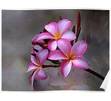 Hawaiian Plumeria Blooms Poster