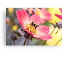 Bumble Bee collecting pollen from a flower Metal Print