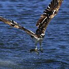 Osprey Gone Fishing by DARRIN ALDRIDGE