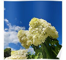 White clouds and white clouds of Hydrangea flowers Poster