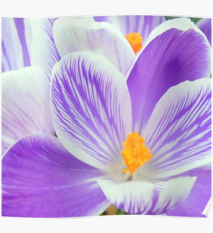 crocus abstract Poster