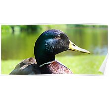 Cute Drake/Male Duck Smiling Poster