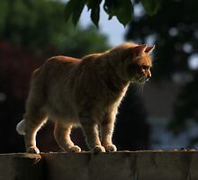 Ginger cat on garden fence by turniptowers