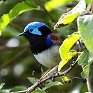 Variegated Fairy Wren by Steve Bass
