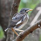 Mynah fledgling by Hedgie's Nature & Gardening Journal