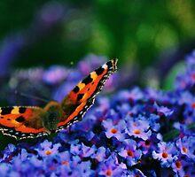 Tortoise Shell Butterfly by India Walker
