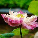 Lotus Flower by Robyn Williams