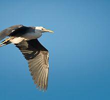 Pied Heron by Craig Hender