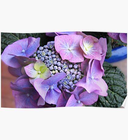 Blue Lace Cap Hydrangea Blossom Poster