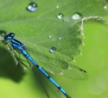 Azure damselfly on leaf after rain Sticker