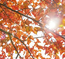 Maple leaves in autumn by kawing921