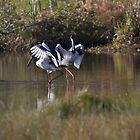 Jabiru Mating Dance by byronbackyard