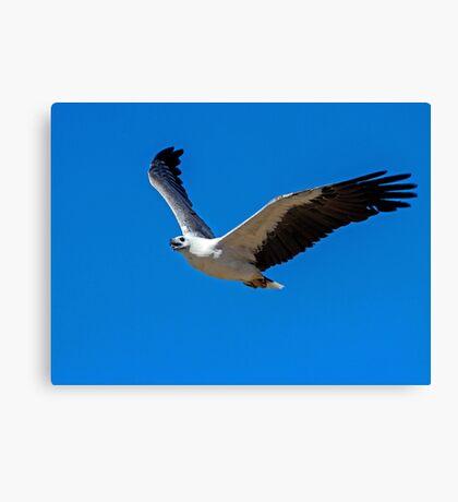 White bellied Sea Eagle Canvas Print