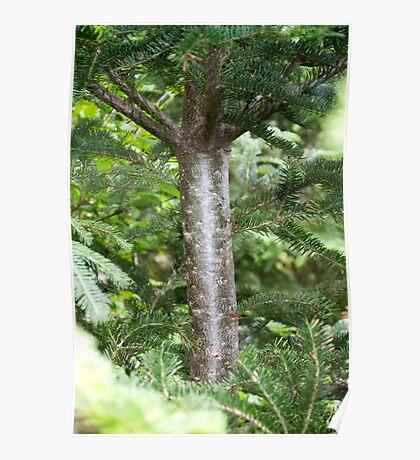Fir Tree Poster