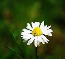 Daisy, Daisy. . . . by livmaggio