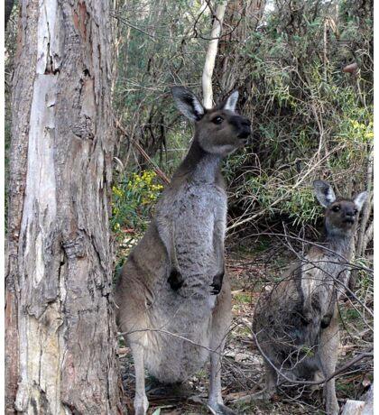 Inquisitive Kangaroos Sticker
