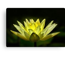 Yellow Water Lily, Backlit. Canvas Print