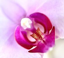 Pink Moth Orchid Center SQ by Jaxybelle