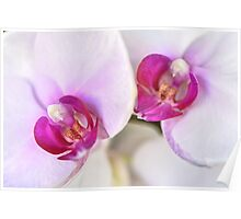 Pink & White Orchids Poster