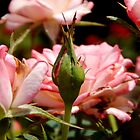 Fragrance in a Rose Garden..... by ctheworld