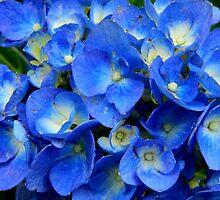 Blue Hydrangea in the Garden    ^ by ctheworld
