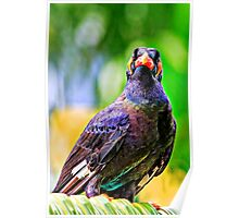 Common Hill Mynah Poster