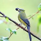 Long-tailed Silky-Flycatcher - Costa Rica by Jim Cumming