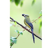 Long-tailed Silky-Flycatcher - Costa Rica Photographic Print