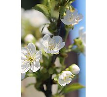 More cherry flowers Photographic Print