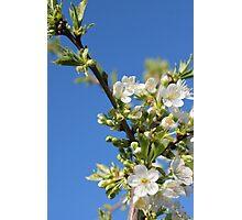 Flowers of cherry Photographic Print
