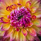Dahlia by alan shapiro