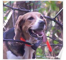 AMERICAN FOXHOUND Poster