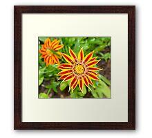Gazania Flower Framed Print