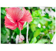 Florida Hibiscus bloom Poster