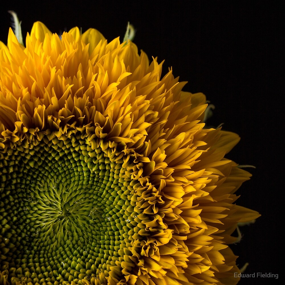 Sunflower Square by Edward Fielding