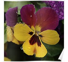 Raindrops On Multicolour Pansy Poster