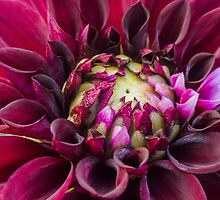 My First Dahlia of the Season by Cee Neuner