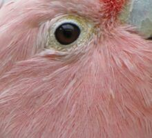 Pink Parrot close up Sticker