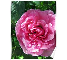 Pink Rose in Shade Poster