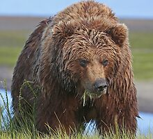 Alaskan Brown Brown Bear Sow by jozi1