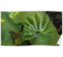 After The Rain - Lady's Mantle Poster